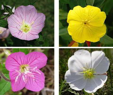 энотера цветок многолетний