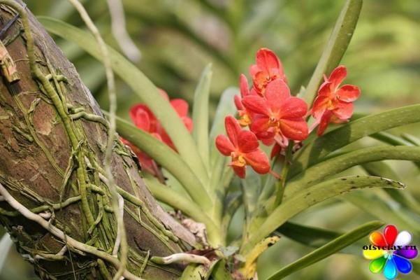 эпифитная орхидея на родине
