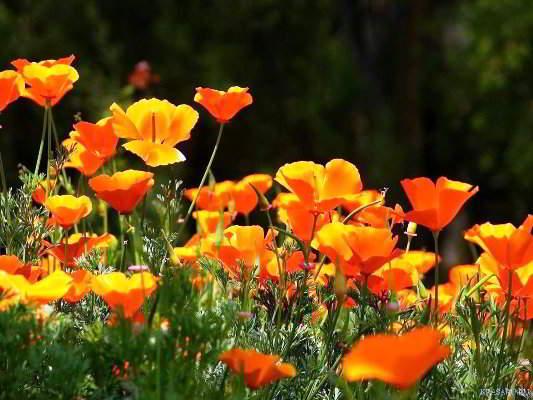цветы эшшольция фото