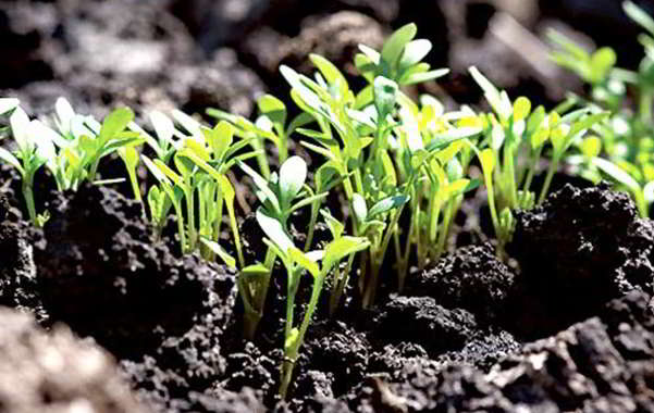эшшольция посадка семенами