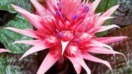 Цветок эхмея проблемы выращивания