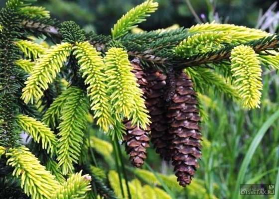 живая изгородь быстрорастущая многолетняя вечнозеленая ель