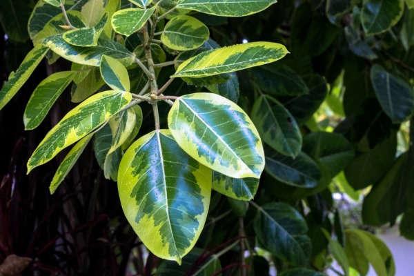 фикус уход в домашних условиях фото почему опадают листья