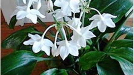 Эухарис — амазонская лилия, как ухаживать в домашних условиях