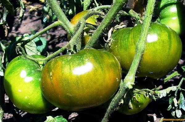 помидоры для теплицы из поликарбоната лучшие сорта