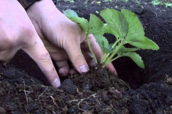 посадка клубники осенью когда и как посадить