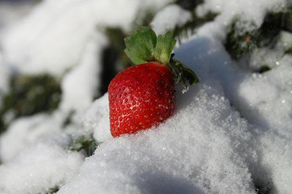 клубника уход осенью подготовка к зиме фото