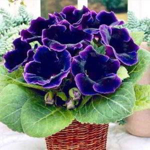 Геснериевые — комнатные цветы для цветоводов-новичков