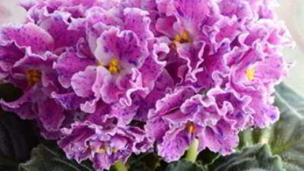 Сорта фиалок всех видов и цветов с названиями, фото и описанием