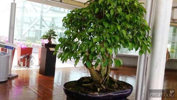 фикус бенджамина уход в домашних условиях фото опадают листья