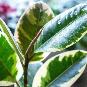 Фикус каучуконосный уход и размножение в домашних условиях