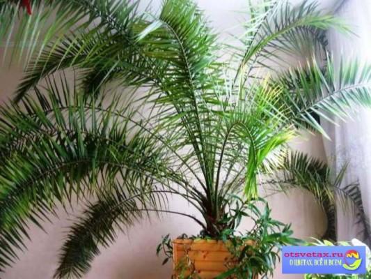 финиковая пальма уход в домашних условиях форум