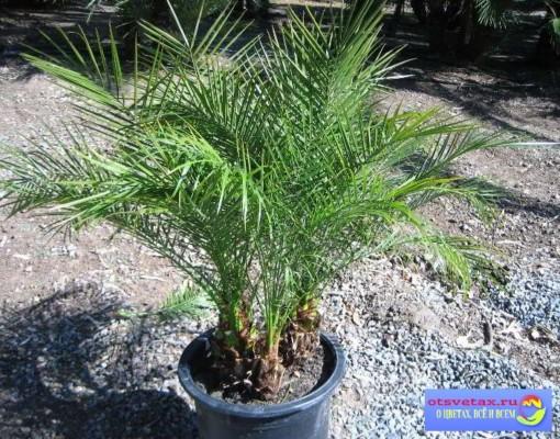 финиковая пальма уход в домашних условиях размножение