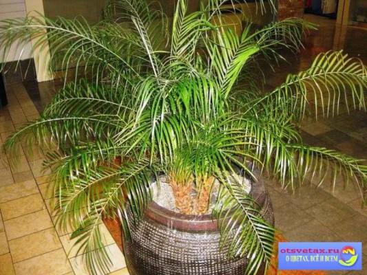 финиковая пальма уход в домашних условиях фото