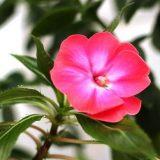 цветы комнатные цветущие фото