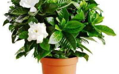Гардения — уход в домашних условиях фото, описание, особенности выращивания