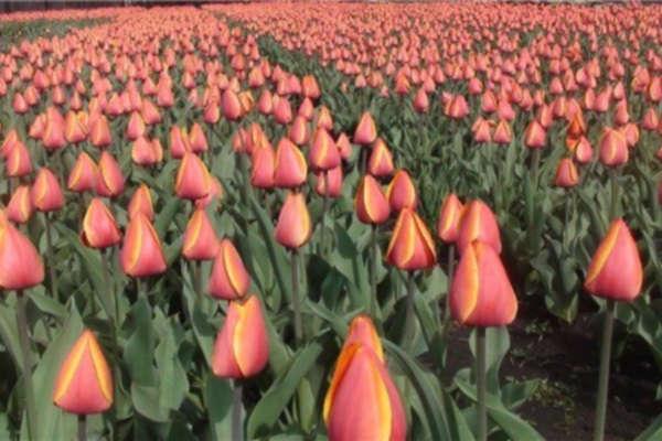 время посадки тюльпанов осенью на урале