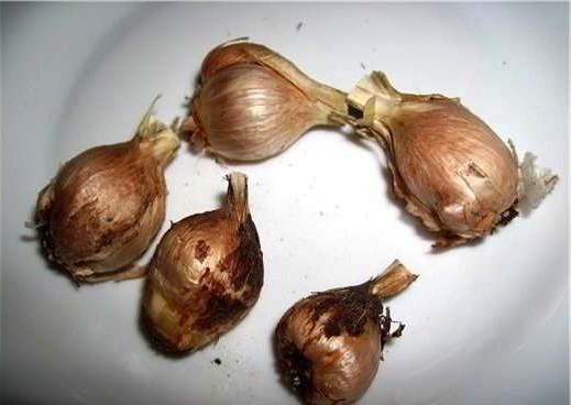фрезия луковица