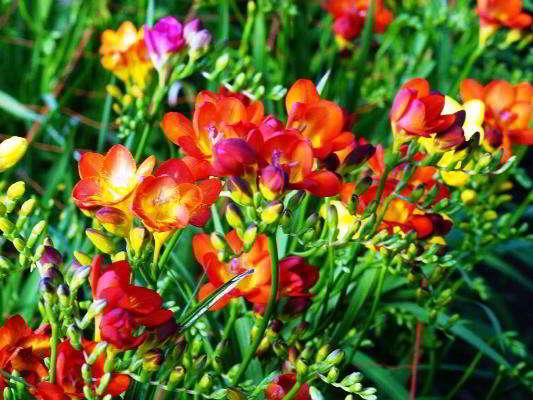 луковичные цветы для сада фото и названия