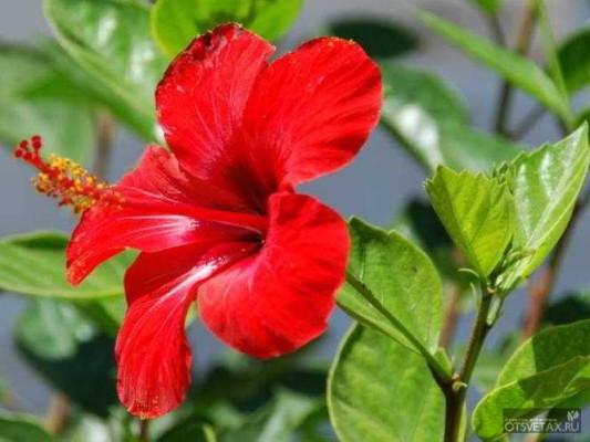 гибискус садовый уход и размножение в подмосковье