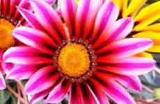 Гацания — выращивание из семян, когда и как сеять, когда сажать в открытый грунт