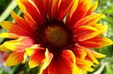 Гайлардия многолетняя: правильная посадка и уход за растением