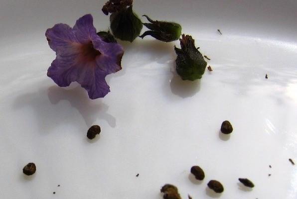гелиотроп выращивание из семян фото