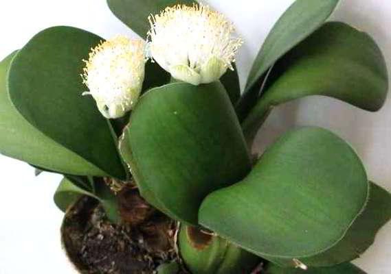 луковичные цветы комнатные с названиями и фото