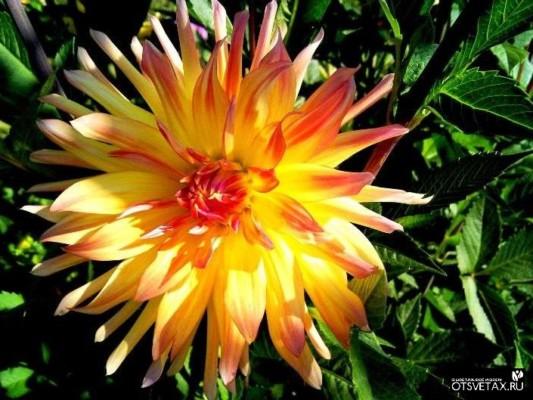 георгина однолетняя выращивание из семян когда сажать фото