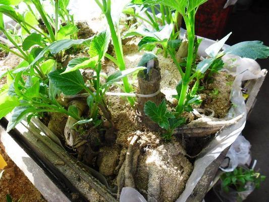 георгины весной подготовка клубней к посадке