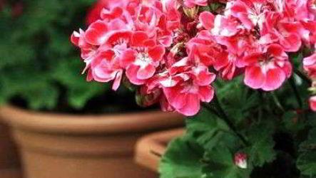 Герань (пеларгония) уход в домашних условиях