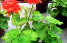 Почему у герани сохнут листья