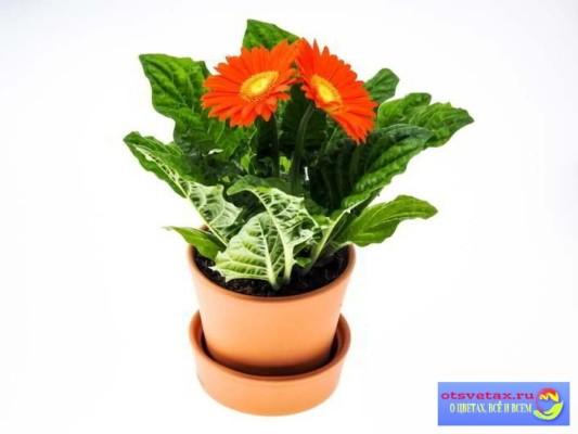 гербера комнатная уход в домашних условиях цветение