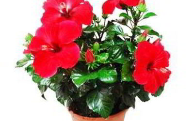 Гибискус китайская роза уход в домашних условиях (фото)