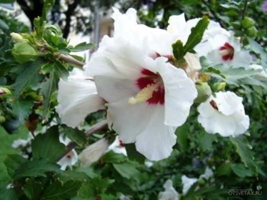 гибискус садовый уход и размножение древовидный