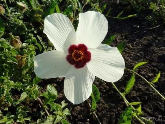 гибискус садовый уход и размножение как выглядит