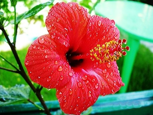 комнатный цветок гибискус