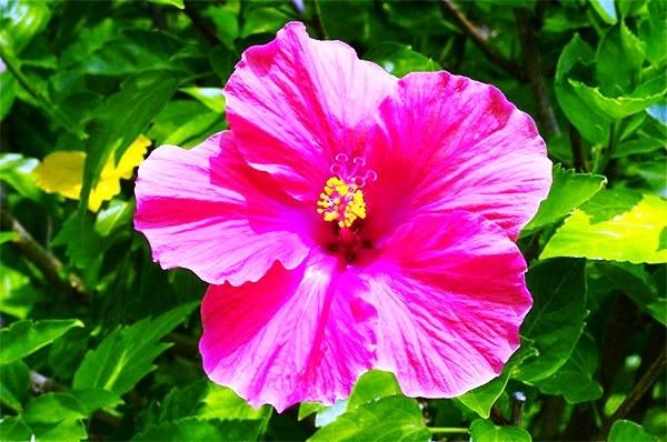 гибискус цветок смерти фото