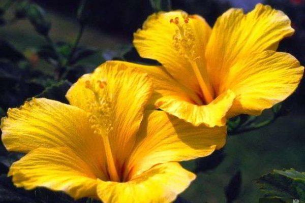 гибискус уход в домашних условиях фото цветение