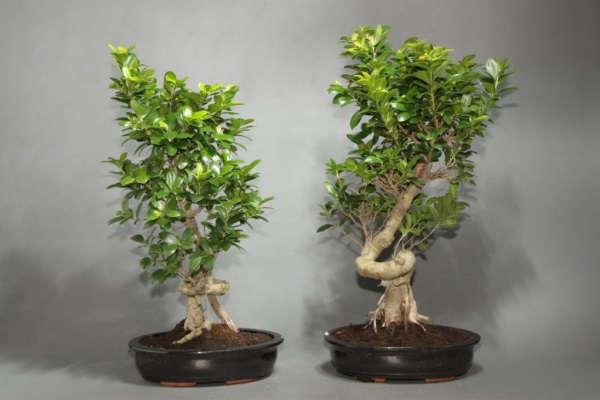 фикус размножение в домашних условиях листьями