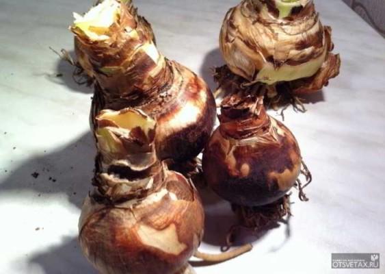 гиппеаструм уход в домашних условиях луковица