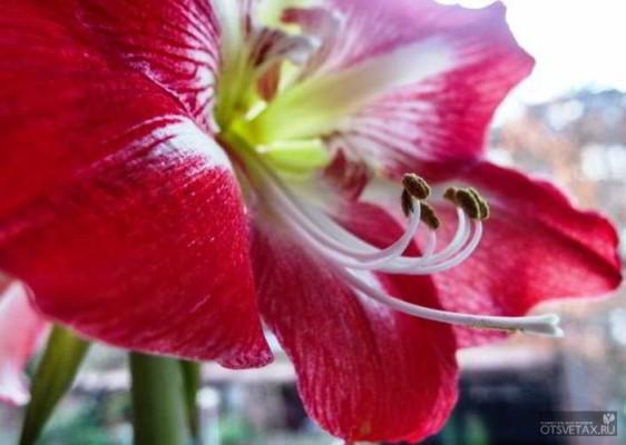 гиппеаструм уход в домашних условиях почему не цветет