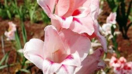 Когда весной высаживать гладиолусы в открытый грунт