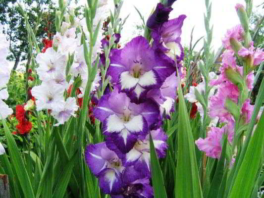 садовые луковичные цветы многолетники фото и название
