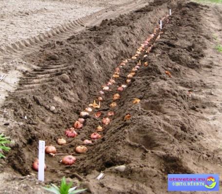 гладиолусы посадка и уход в открытом грунте