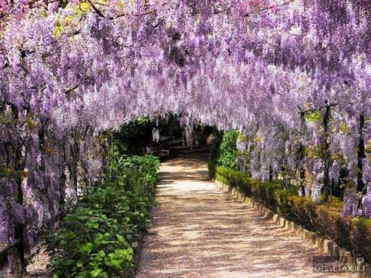 вьющиеся растения для сада фото и названия глициния