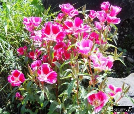 годеция выращивание из семян когда сажать ютуб