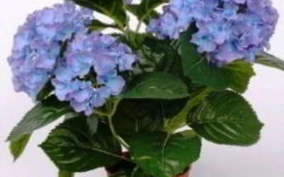 гортензия домашняя уход в домашних условиях цветение