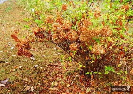 гортензия уход осенью подготовка к зиме на урале