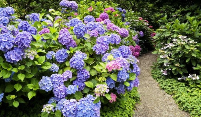 Где купить садовую гортензию